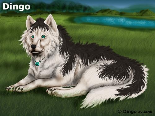 vlk: Dingo